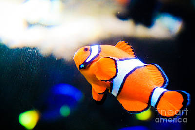 Clownfish Art Print by Brenton Woodruff