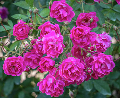 Photograph - Cluster Of Roses by Jane Luxton