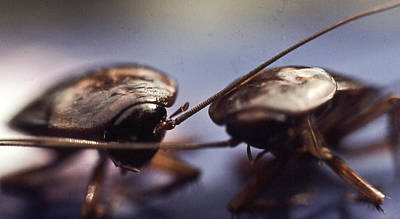 Photograph - Cockroaches In Love by Michael Rutland