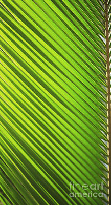 Photograph - Coconut Palm by Brandon Tabiolo - Printscapes