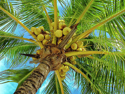 Photograph - Coconuts In Tree by Bill Barber