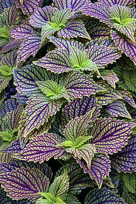 Variegated Photograph - Coleus by Jessica Jenney