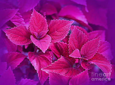 Photograph - Coleus by Judi Bagwell