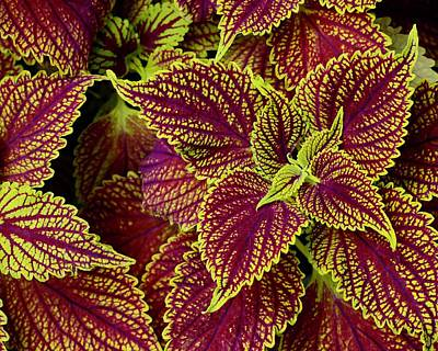 Photograph - Coleus Leaves by Tim Good