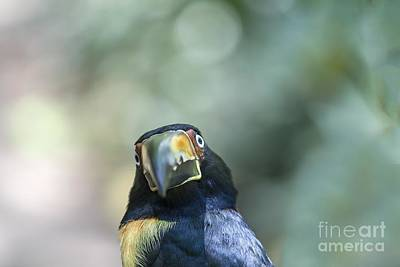 Photograph - Collared Aracari by Patricia Hofmeester
