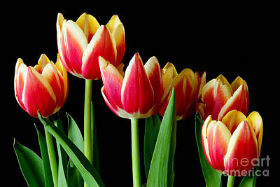Photograph - Collection Of Tulips by Colin Rayner