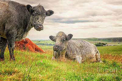 Photograph - Colorful Highland Cattle by Patricia Hofmeester