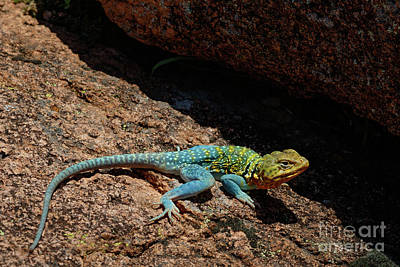 Priska Wettstein Pink Hues Royalty Free Images - Colorful Lizard II Royalty-Free Image by Richard Smith