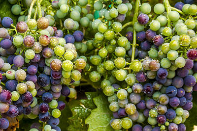 Photograph - Colorful Wine Grapes On Grapevine by Teri Virbickis