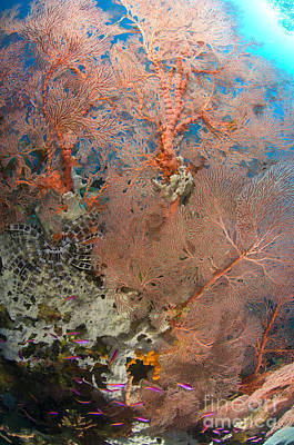 New Britain Photograph - Colourful Sea Fan With Crinoid, Papua by Steve Jones