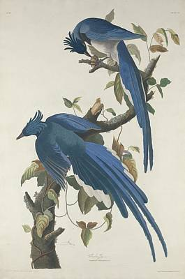 Wings Drawing - Columbia Jay by Dreyer Wildlife Print Collections
