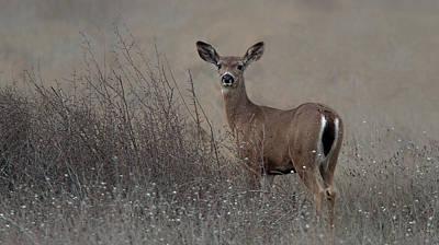 Columbian Black-tailed Deer Art Print by Floyd Hopper