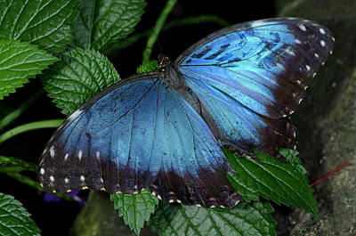 Photograph - Common Blue Morpho Butterfly by JT Lewis