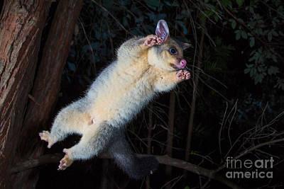 Brushtail Photograph - Common Brushtail Possum by B.G. Thomson