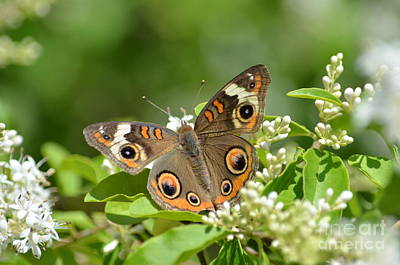 Photograph - Common Buckeye by Kathy Gibbons