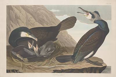Mountain Drawing - Common Cormorant by Dreyer Wildlife Print Collections
