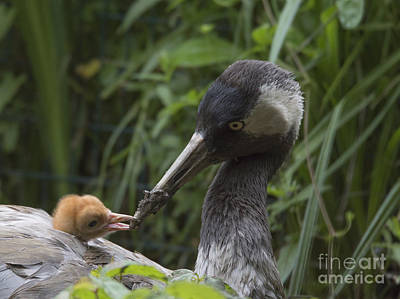 Photograph - Common Crane With His Chick by Pietro Ebner