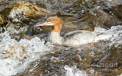 Photograph - Common Merganser by Gary Beeler