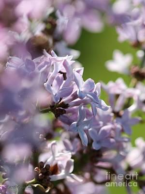 Common Purple Lilac Art Print
