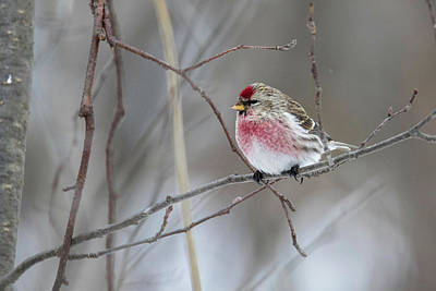 Photograph - Common Redpoll by Brook Burling