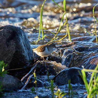 Photograph - Common Sandpiper by Jouko Lehto