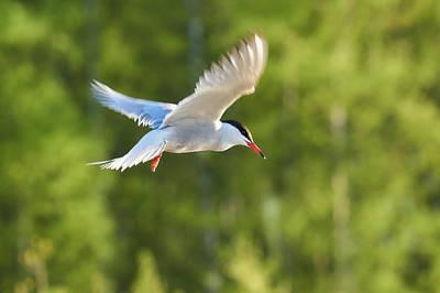 Photograph - Common Tern by Jouko Lehto