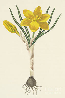 Botanical Drawing - Common Yellow Crocus by Margaret Roscoe