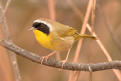 Photograph - Common Yellow-throat by Alan Lenk