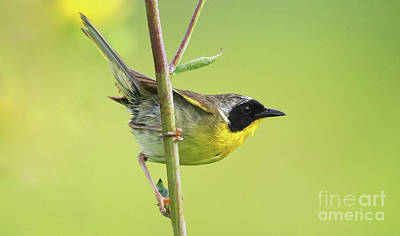 Photograph - Common Yellowthroat by Debbie Parker
