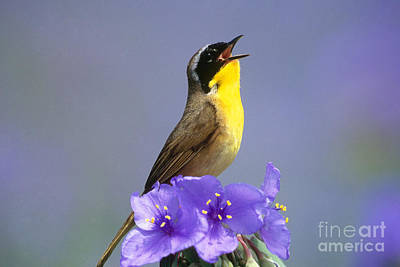 Photograph - Common Yellowthroat by Steve and Dave Maslowski