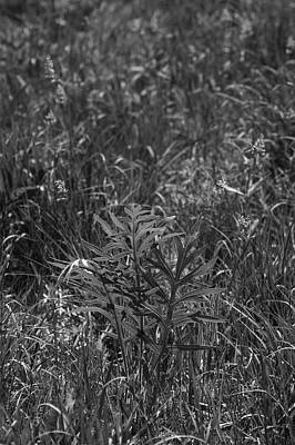 Photograph - Compass Plant by Tim Good