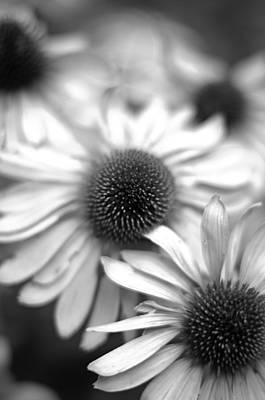 Photograph - Cone Flower 7 by Simone Ochrym