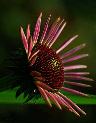Photograph - Cone Flower Art Close Up And Personal by Lesa Fine