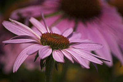 Photograph - Cone Flower by Elsa Marie Santoro