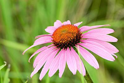 Nature Photograph - Cone Flower by Larry Ricker