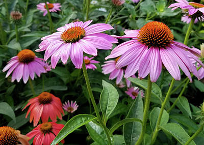 Photograph - Cone Flowers I by Sylvia Thornton