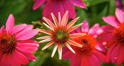 Photograph - Coneflower by Alana Ranney