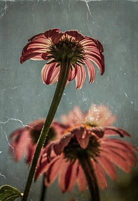 Photograph - Coneflower by Garry McMichael