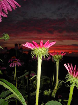 Travel Rights Managed Images - Coneflowers At Sunset Royalty-Free Image by Cindy Treger