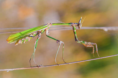 Photograph - Conehead Mantis by Jivko Nakev