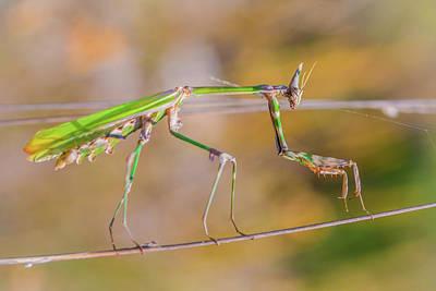 Photograph - Conehead Mantis by Jivko Nakev