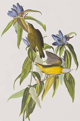 Warbler Painting - Connecticut Warbler by John James Audubon