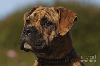 Continental Bulldog Art Print by Brinkmann/Okapia