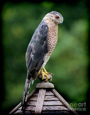 Photograph - Cooper's Hawk  by Karen Adams
