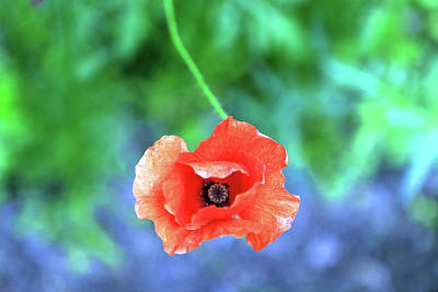 Photograph - Coquelicot by Catherine Leblanc