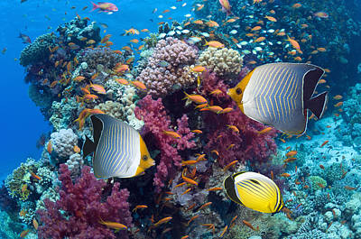 Egypt Photograph - Coral Reef Scenery With Fish by Georgette Douwma