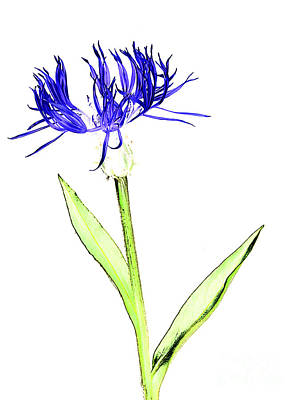 Photograph - Cornflower No.5 by Tony Mills