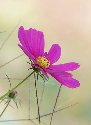 Photograph - Cosmos by Angie Vogel
