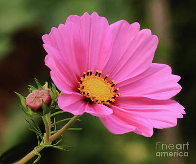 Cosmos Photograph - Cosmos by Gary Wing