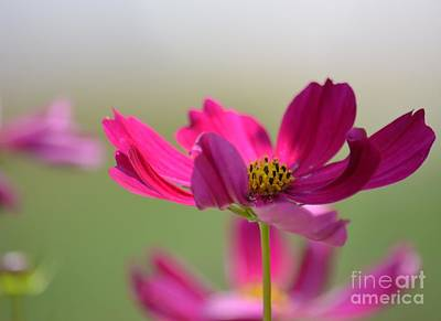 Photograph - Cosmos by Maria Urso